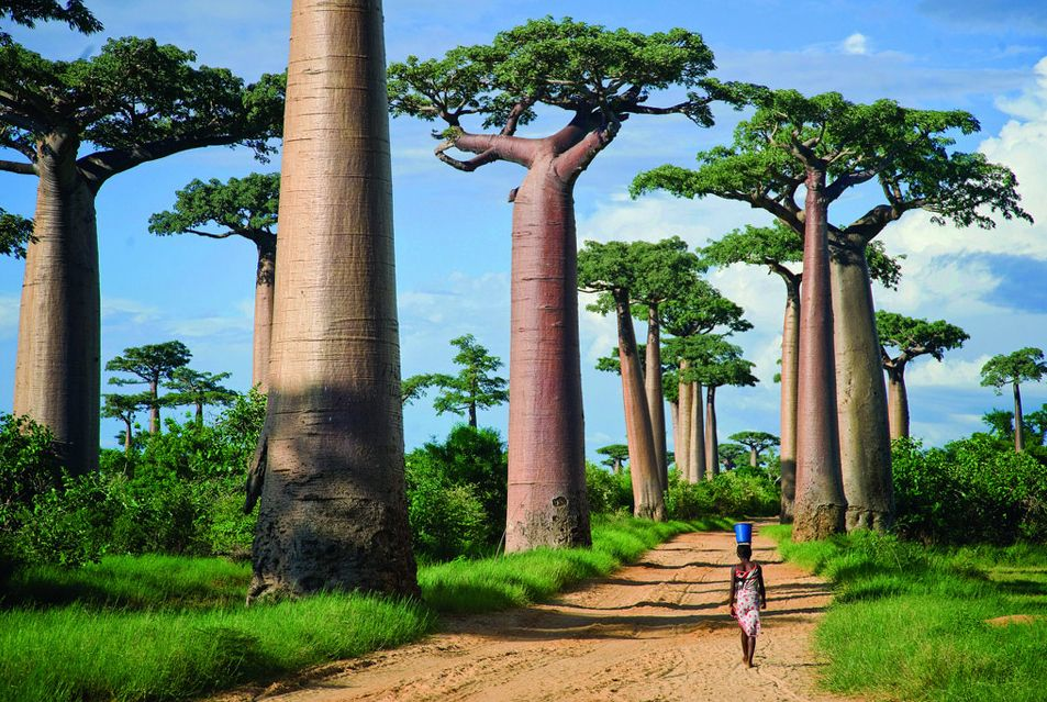 Take a walk through the baobab trees in Madagascar
