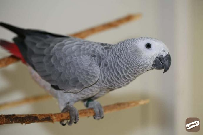 African Grey Parrot Price in India