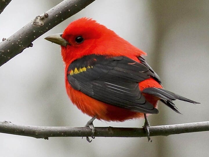 Red Bird with Black Wings